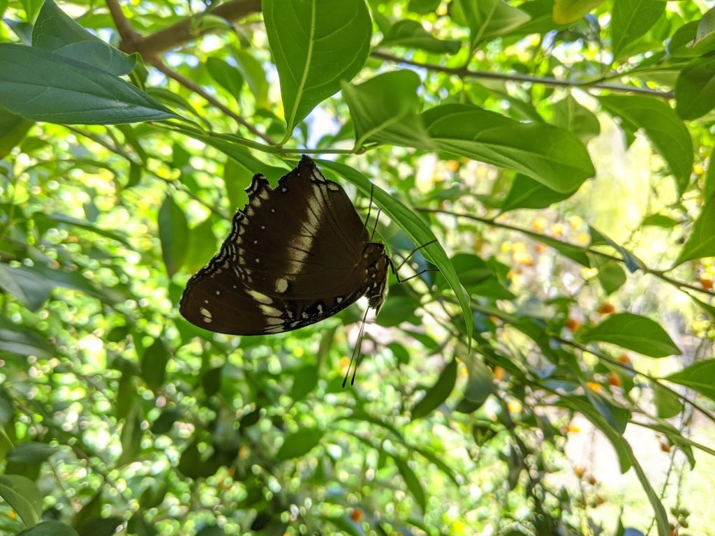 Butterfly, wings closed, upside down on a branch