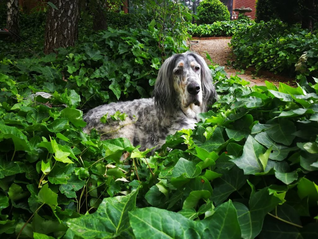 English setter lying in a bed of ivy, head up looking at the camera